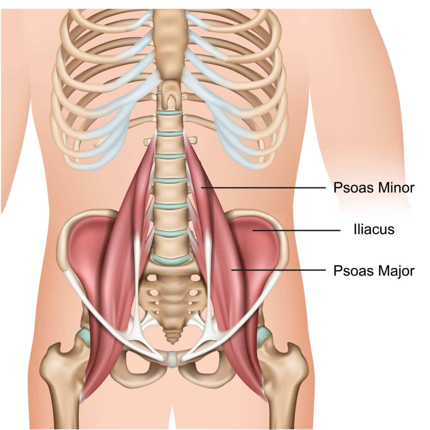 PSOAS - muscle